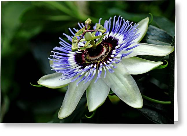 Blue Crown Passion Flower Greeting Card