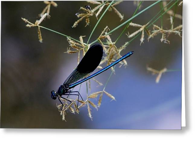 Blue Damsfly Greeting Card