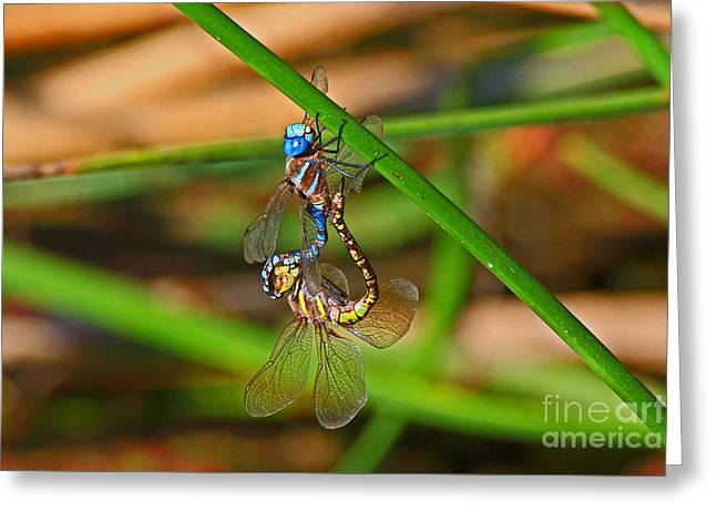 Blue Darner Boudoir Photo Greeting Card by Craig Corwin