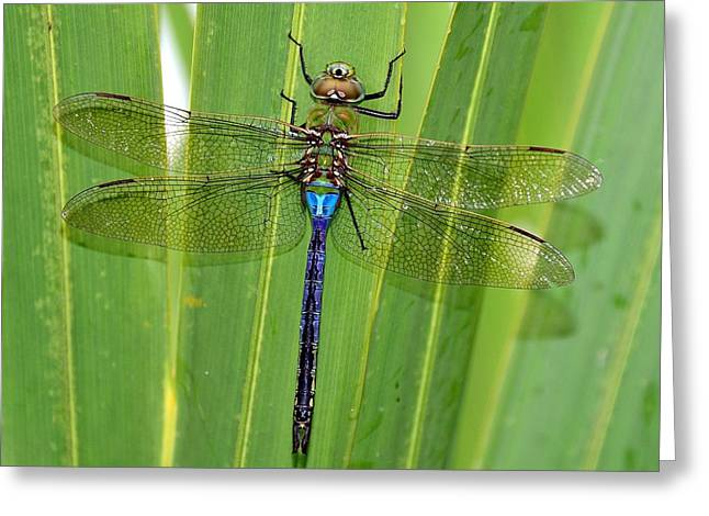 Blue Darner On The Palm #5 Greeting Card by Kevin  Johnson Rapuano