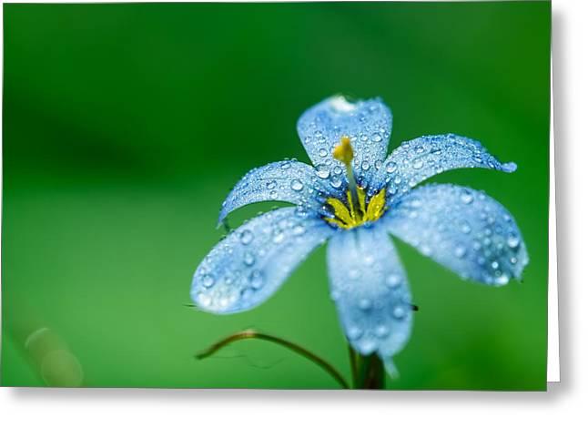 Blue Eyed Grass Flower Greeting Card