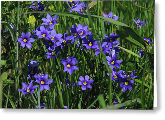 Blue Eyed Grass Greeting Card by Robyn Stacey