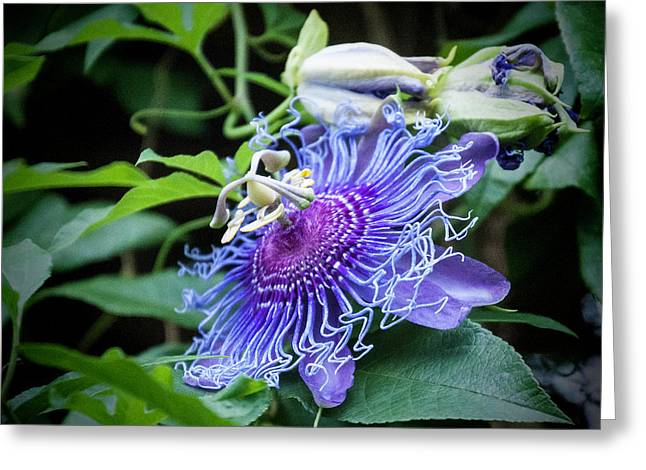 Blue Eyed Susan Passion Flower Greeting Card by Phyllis Taylor