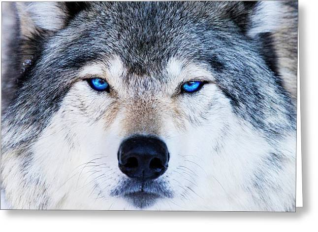 Greeting Card featuring the photograph Blue Eyed Wolf Portrait by Mircea Costina Photography