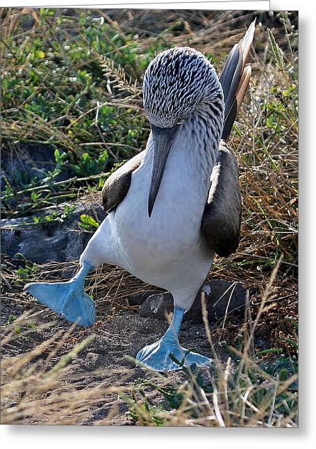 Blue-footed Booby Courtship Dance Greeting Card