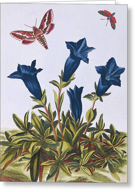 Blue Gentian  Trumpet Flower  Greeting Card by Pierre-Joseph Buchoz