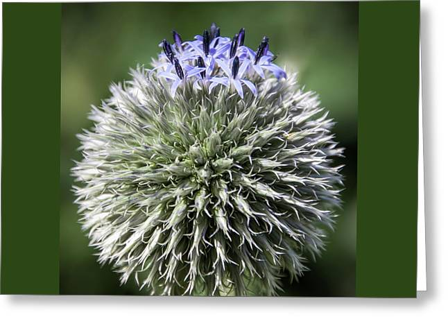 Blue Globe Thistle 3 - Greeting Card