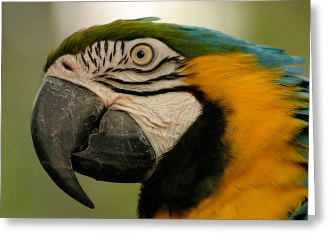 Blue Gold Macaw South America Greeting Card by Ralph A  Ledergerber-Photography
