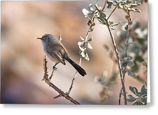 Greeting Card featuring the photograph Black-tailed Gnatcatcher by Dan McManus
