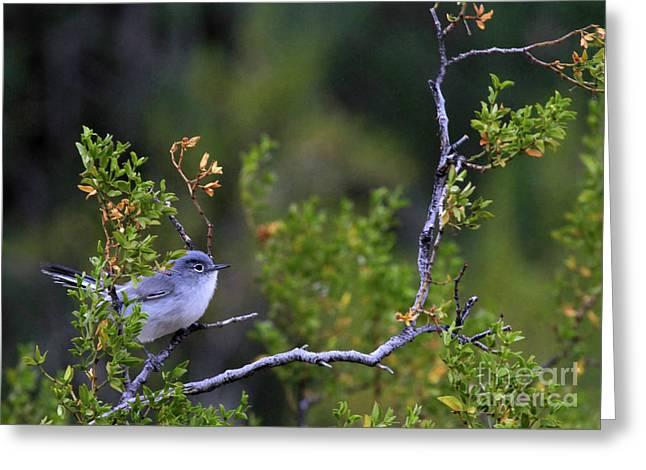 Blue-gray Gnatcatcher  Greeting Card