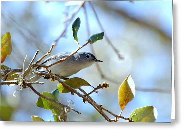 Blue Grey Gnatcatcher Greeting Card by Steven Scott