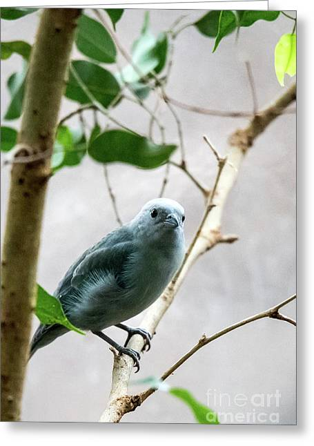 Blue-grey Tanager 2 Greeting Card