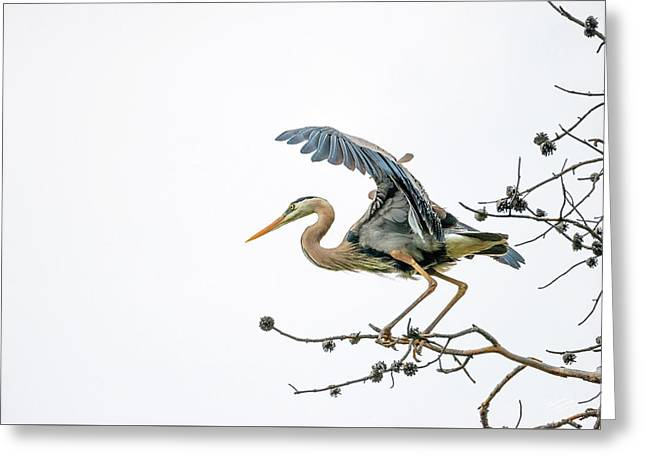 Blue Heron 4 Greeting Card