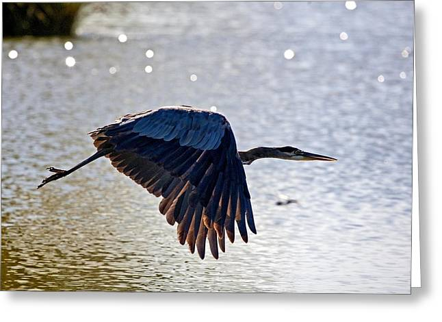 Blue Heron Aglow Greeting Card by Charlie Osborn