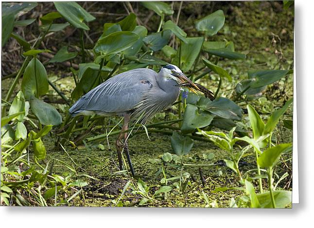 Greeting Card featuring the photograph Blue Heron And Lunch by Phil Stone