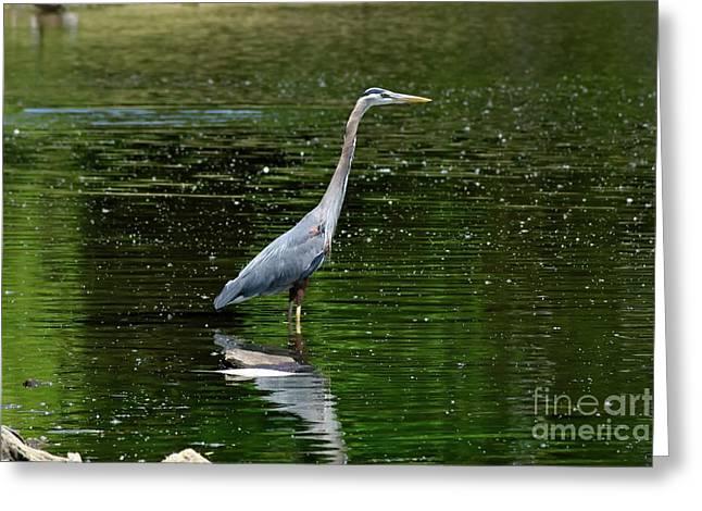Blue Heron Greeting Card by Brian Kalbe