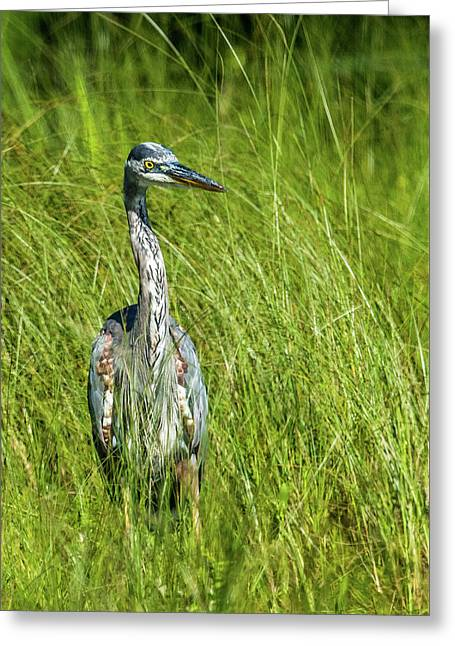 Greeting Card featuring the photograph Blue Heron In A Marsh by Paul Freidlund
