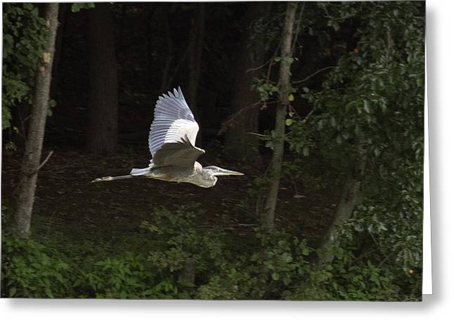 Blue Heron In Flight Greeting Card