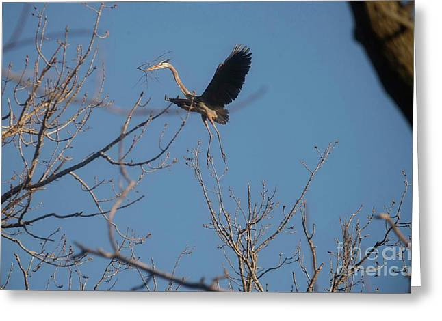 Greeting Card featuring the photograph Blue Heron Landing by David Bearden