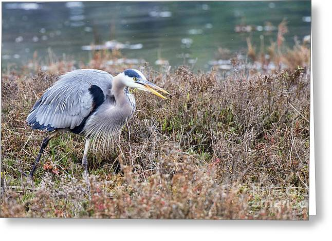 Greeting Card featuring the photograph Blue Heron On The Hunt by Eddie Yerkish