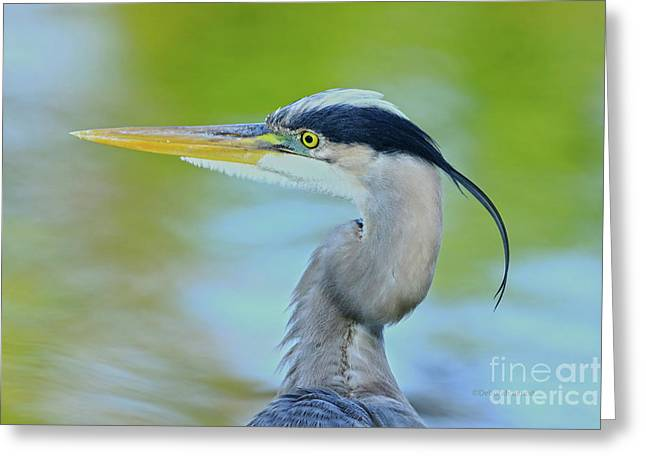 Greeting Card featuring the photograph Blue Heron Portrait 2017 by Deborah Benoit