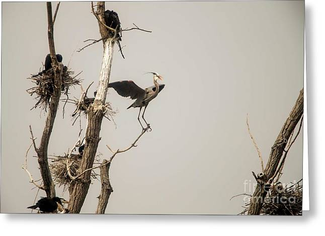 Greeting Card featuring the photograph Blue Heron Posing by David Bearden