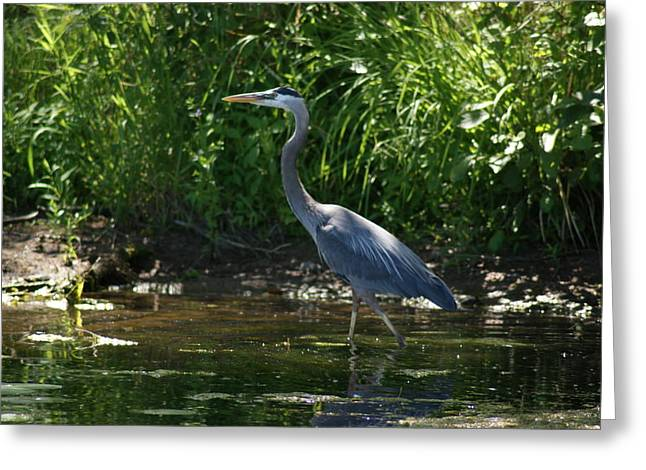 Greeting Card featuring the photograph Blue Heron by Ron Read