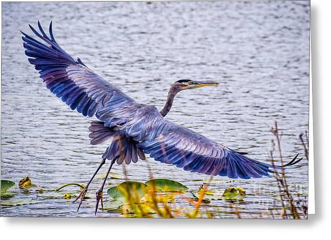 Blue Heron  Take Off  Greeting Card