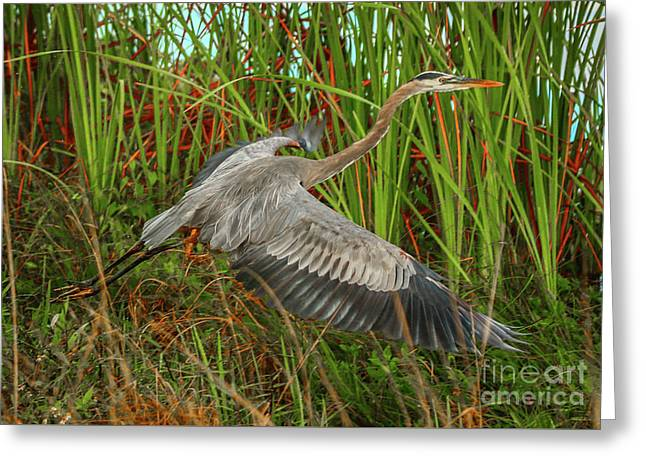 Blue Heron Take-off Greeting Card by Tom Claud