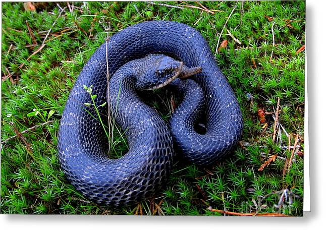 Blue Hognose Greeting Card