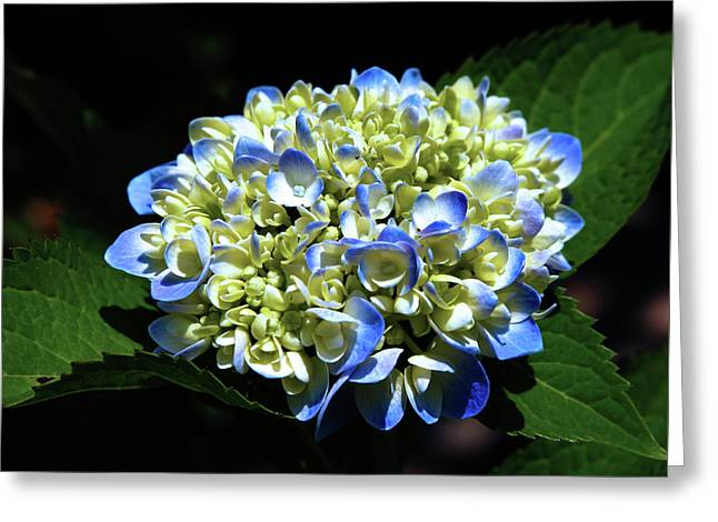Blue Hydrangea Onstage 2620 H_2 Greeting Card