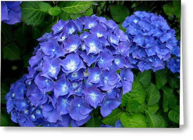 Blue Hydrangeas Greeting Card
