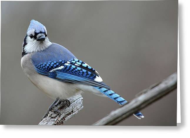 Blue Jay 2 Greeting Card