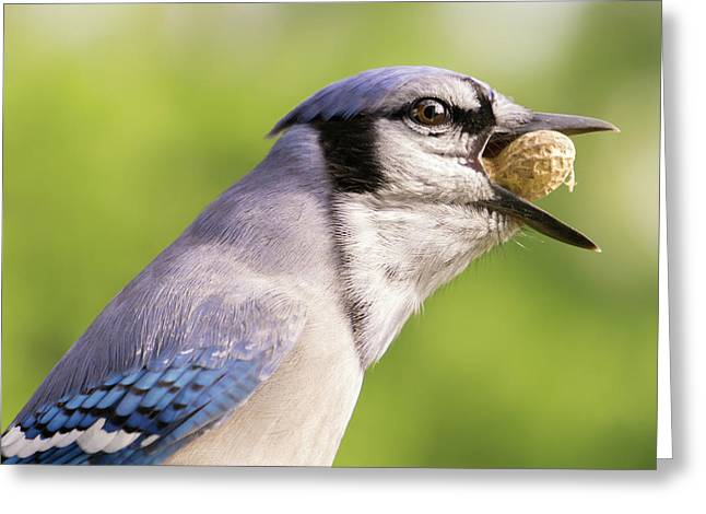 Blue Jay And Peanuts Greeting Card