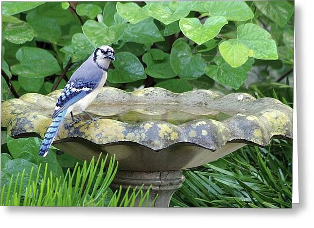 Blue Jay At The Birdbath Greeting Card by Richard Rizzo