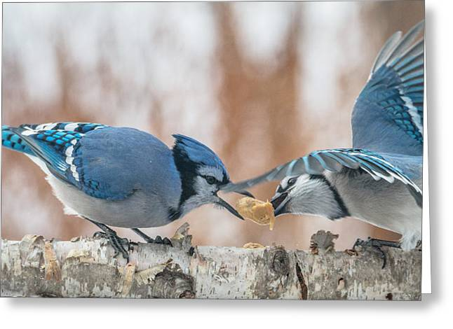 Blue Jay Battle Greeting Card by Patti Deters