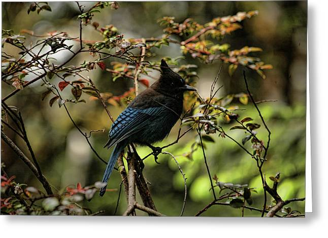 Soft Light Greeting Cards - Blue Jay Greeting Card by Bonnie Bruno
