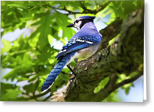 Blue Jay Greeting Card by Christina Rollo