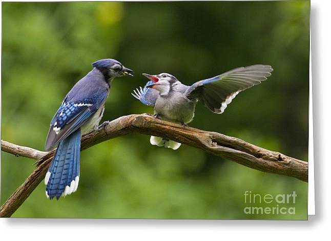Blue Jay Fledgling Begs For Food Greeting Card by Marie Read