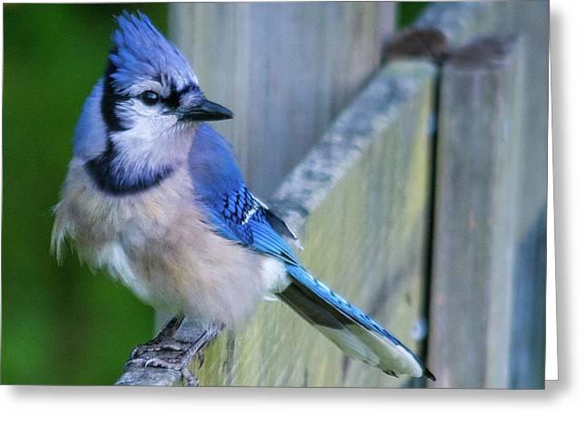 Blue Jay Fluffed Greeting Card