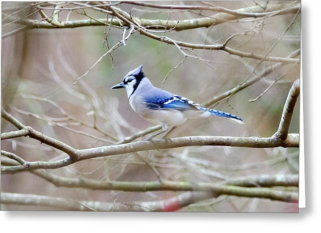 Greeting Card featuring the photograph Blue Jay by George Randy Bass