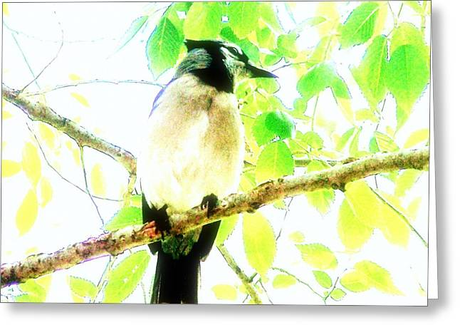 Blue Jay IIi Greeting Card by Clarice  Lakota