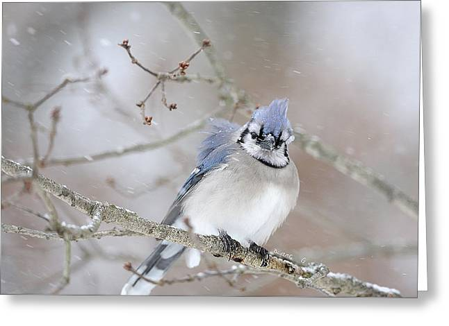 Blue Jay In A Blizzard Greeting Card