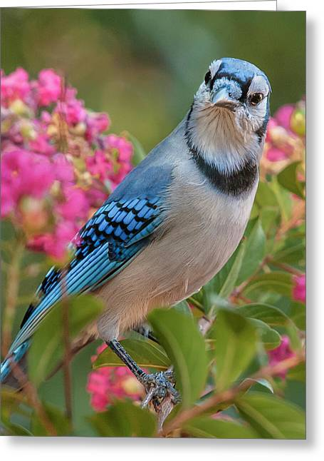 Blue Jay In Crepe Myrtle Greeting Card