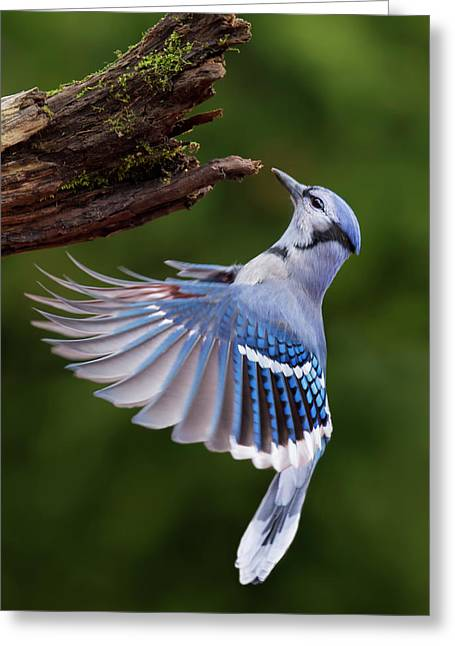 Greeting Card featuring the photograph Blue Jay In Flight by Mircea Costina Photography