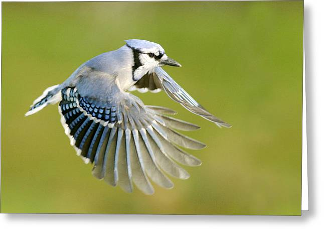 Blue Jay In Full Flight Greeting Card by Birds Only