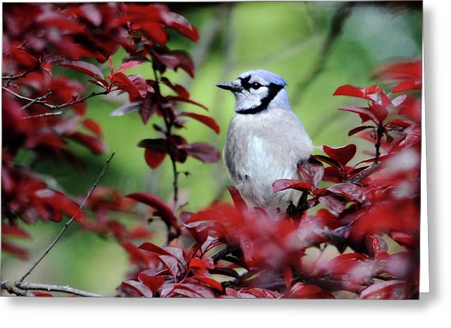 Blue Jay In The Plum Tree Greeting Card by Trina Ansel