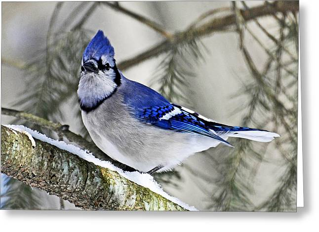Blue Jay In Winter Greeting Card by Rodney Campbell