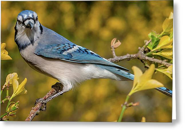 Blue Jay In Yellow Spring Greeting Card