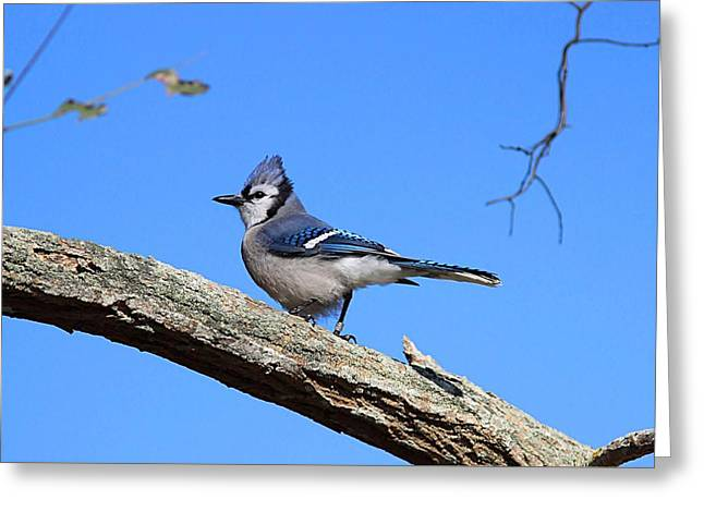 Blue Jay Greeting Card by Linda Crockett